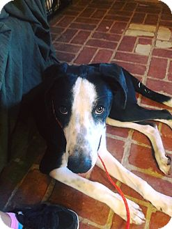 Great Dane Mix Dog for adoption in El Paso, Texas - Chance