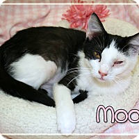 Domestic Shorthair Cat for adoption in Bartlett, Tennessee - Moo