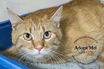 American Shorthair Cat for adoption in Belton, Missouri - Anna Jane