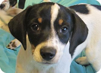 Beagle/Terrier (Unknown Type, Small) Mix Puppy for adoption in Hagerstown, Maryland - Cannoli