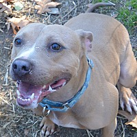 American Staffordshire Terrier Mix Dog for adoption in Afton, New York - Rocco