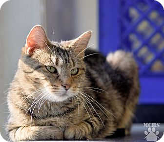 Domestic Shorthair Cat for adoption in Martinsville, Indiana - Camile