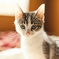 Adopt A Pet :: Cal - Hoffman Estates, IL