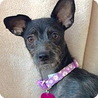 Adopt A Pet :: Princess Leia - Lake Forest, CA