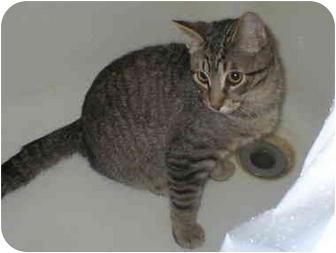 Domestic Shorthair Cat for adoption in Union Lake, Michigan - Otis>^.,.^< $35 adoption