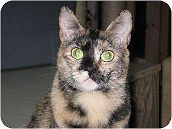 Domestic Shorthair Cat for adoption in Winston-Salem, North Carolina - Dottie