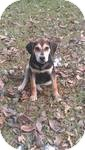 Treeing Walker Coonhound/Beagle Mix Puppy for adoption in Manchester, Connecticut - Buck  ADOPTION PENDING