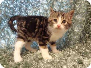 Domestic Shorthair Kitten for adoption in Arlington, Virginia - Art (& Taz)