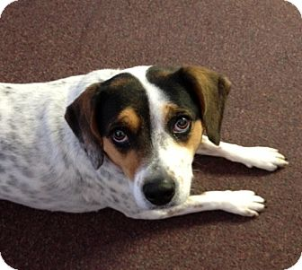 Beagle/Cattle Dog Mix Dog for adoption in Indianapolis, Indiana - Hershey