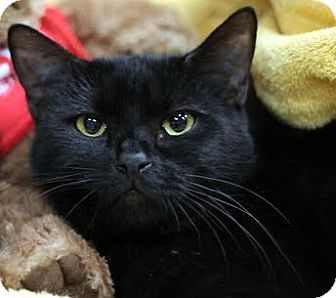 Domestic Shorthair Cat for adoption in Alexandria, Virginia - Starboard