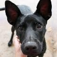 Basenji/Shepherd (Unknown Type) Mix Dog for adoption in Memphis, Tennessee - Glo
