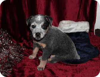 Australian Cattle Dog Mix Puppy for adoption in West Milford, New Jersey - FAERYN