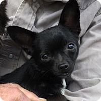 Adopt A Pet :: Hermione - Tiny Darling! - Seattle, WA