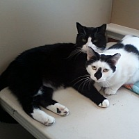 Adopt A Pet :: Diamond - Lancaster, PA