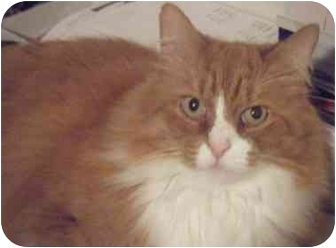 Domestic Longhair Cat for adoption in Kensington, Maryland - OJ