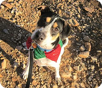 Pointer/Harrier Mix Dog for adoption in Scottsdale, Arizona - Lucky