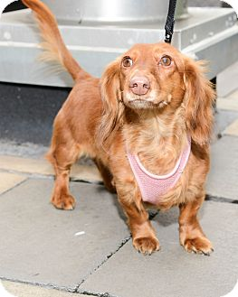 Dachshund Dog for adoption in New York, New York - Baby Princess