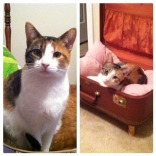 Calico Cat for adoption in Pineville, North Carolina - Madeline