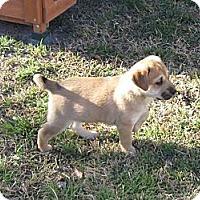Adopt A Pet :: Rain - Copperas Cove, TX