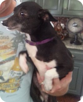 Chihuahua Mix Dog for adoption in Dothan, Alabama - Ruby