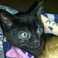 Domestic Shorthair Kitten for adoption in Bethpage, New York - Batman