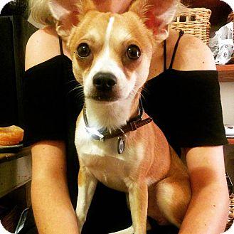 Chihuahua Mix Dog for adoption in Destrehan, Louisiana - Coyette