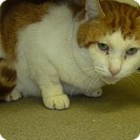 Adopt A Pet :: Creamsicle - Hamburg, NY