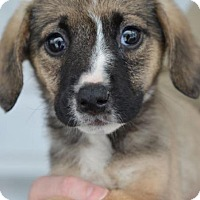 Adopt A Pet :: Amelia - Danbury, CT
