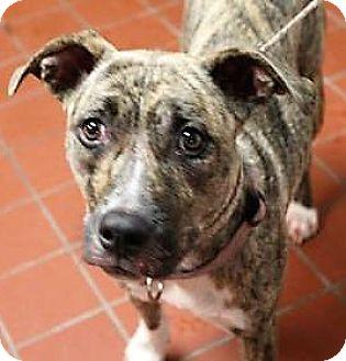 American Staffordshire Terrier Mix Dog for adoption in Daytona Beach, Florida - Momma