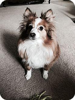 Sheltie, Shetland Sheepdog Dog for adoption in Bend, Oregon - Jinx