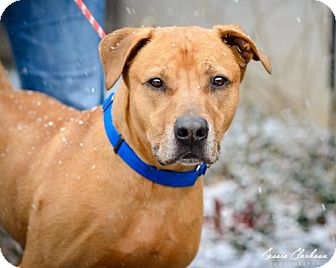American Staffordshire Terrier Mix Dog for adoption in Zanesville, Ohio - 48635 Nugget sponsored $40 plus tags