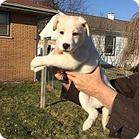 Adopt A Pet :: Tiguak (Sasha Puppy) - Crystal Lake, IL
