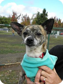 Chihuahua Mix Dog for adoption in Grass Valley, California - Jack Frost II
