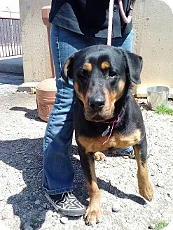 Rottweiler Mix Dog for adoption in Frederick, Pennsylvania - Beauty