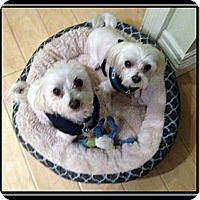 Adopt A Pet :: Brit and Beau - Vancouver, WA