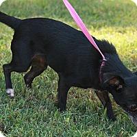 Adopt A Pet :: Lolita - Brattleboro, VT