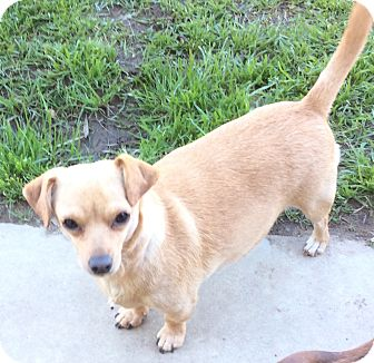 Dachshund Mix Dog for adoption in Simi Valley, California - Cherry