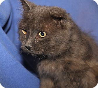 Domestic Longhair Cat for adoption in Marietta, Ohio - Ol' Man (Neutered)