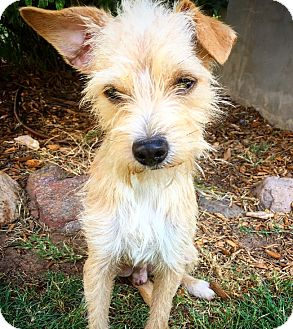 Norfolk Terrier Mix Dog for adoption in Fredericksburg, Texas - CJ