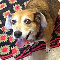 Adopt A Pet :: 1-5 Gracie - Triadelphia, WV