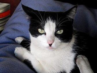 Domestic Shorthair Cat for adoption in San Jose, California - Precious