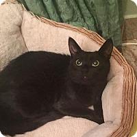 Adopt A Pet :: Beautiful Velvet! - Brooklyn, NY