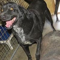 Labrador Retriever Mix Dog for adoption in Poland, Indiana - Butch