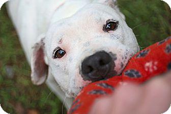 Pit Bull Terrier/American Bulldog Mix Dog for adoption in Washington, D.C. - Tee Tee