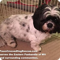 Adopt A Pet :: Miss Oreo - Hedgesville, WV