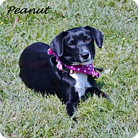 Adopt A Pet :: Peanut- in CT - Manchester, CT
