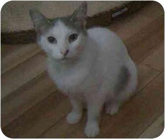 Domestic Shorthair Cat for adoption in Cambridge, Ontario - Star