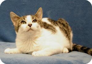 Domestic Shorthair Cat for adoption in Sacramento, California - Emma