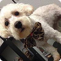 Adopt A Pet :: Lady - South Gate, CA