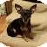 Adopt A Pet :: Little Bella - Shawnee Mission, KS